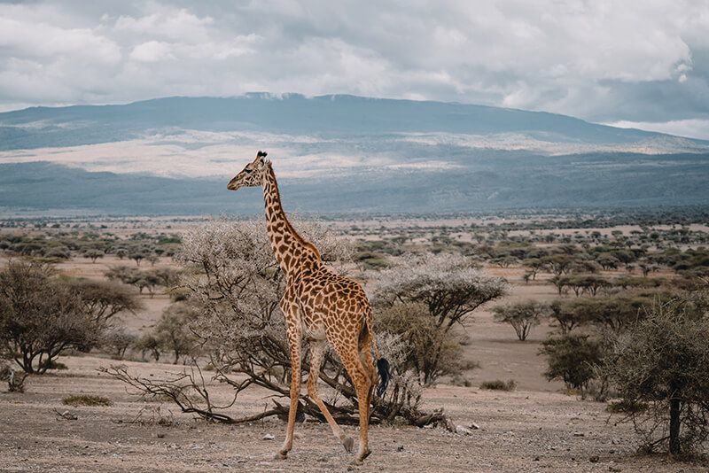giraffe-tanzania-safari