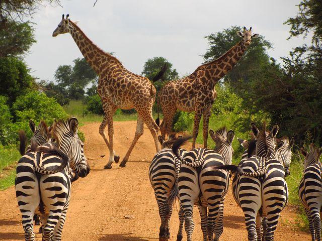 mikumi safari-Tanzania-kili Footprints